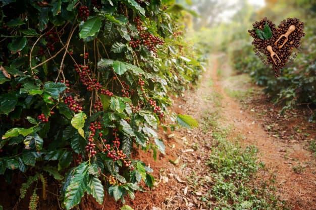 عکس کسانی که با قهوه سبز لاغر شدن ، قهوه سبز را چگونه بخوریم