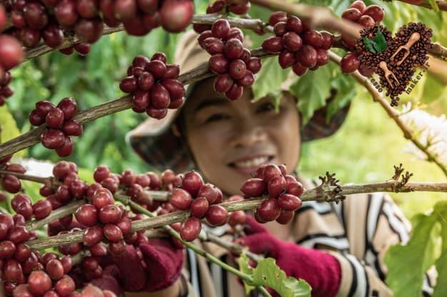 قهوه سبز برای لاغری ، قهوه برای لاغری