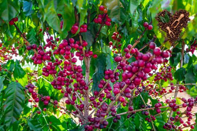 قهوه درخت