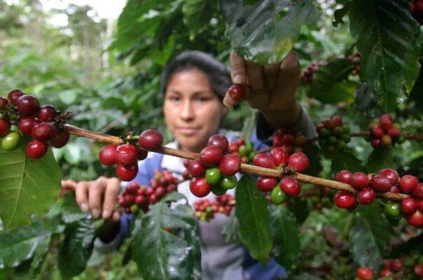 كاسكارا درخت قهوه