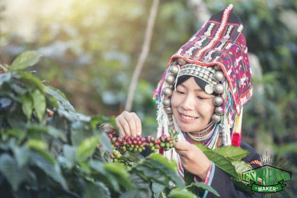 درخت قهوه اسپرسو ، درخت قهوه تلخ
