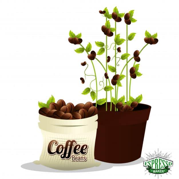 گیاه قهوه آپارتمانی ، گیاه قهوه در ایران