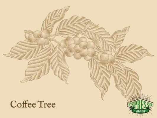 گیاه قهوه در گلدان ، گیاه قهوه ترک