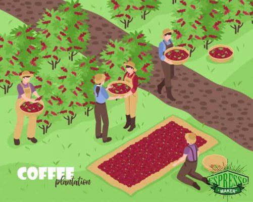 گیاه قهوه چگونه است ، گیاه قهوه عربی