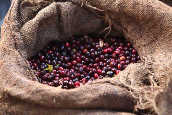 انواع قهوه روبوستا و عربیکا