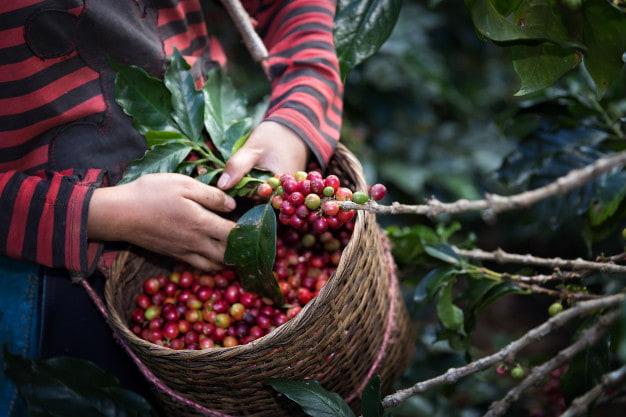 قهوه اندونزي چيست